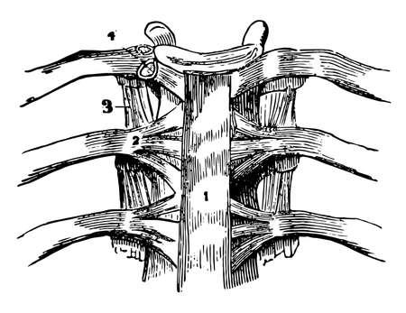 This illustration represents A Vertebral Articulation, vintage line drawing or engraving illustration.
