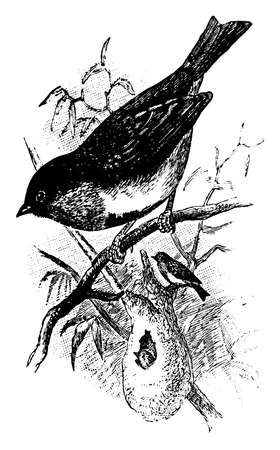 Swallow Sunbird is a small bird of Australia having a very acute bill, vintage line drawing or engraving illustration.
