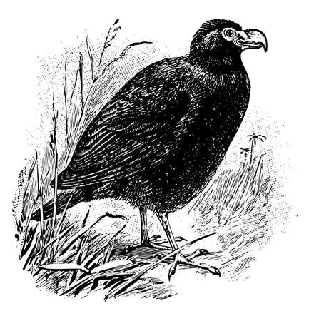 Tooth Billed Pigeon is the total length is about 14 inches, vintage line drawing or engraving illustration.