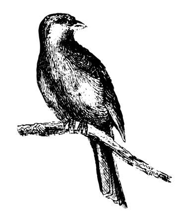 Canary is generally known by us as cage birds, vintage line drawing or engraving illustration.