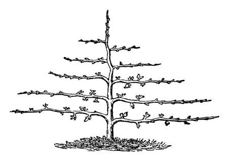 This illustration represents Horizontal Shaped Pruning where tree shape is horizontal, vintage line drawing or engraving illustration.