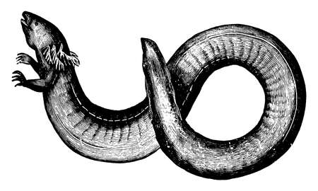 Siren lacretina lives in the muddy water of the rice swamps, vintage line drawing or engraving illustration.
