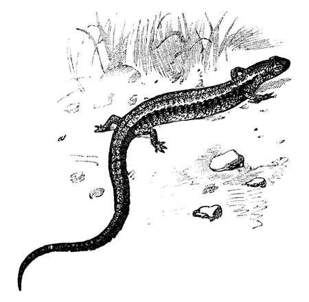 Red Back Salamander which inhabits wooded slopes in eastern North America, vintage line drawing or engraving illustration. Ilustração