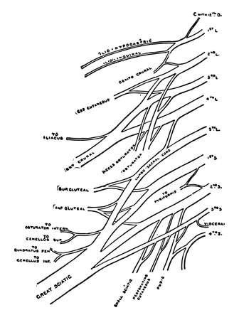 This illustration represents Lumbar and Sacral Plexuses, vintage line drawing or engraving illustration.