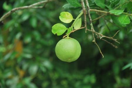 rutaceae: Cal Foto de archivo