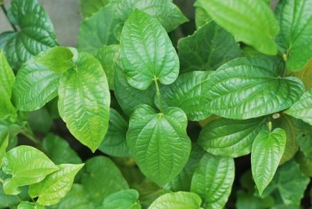 piperaceae: Wild Betel Leafbush