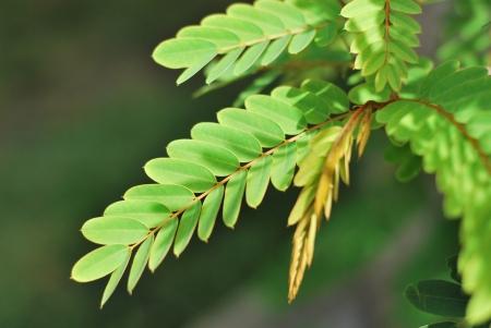 leguminosae: Cassod tree Stock Photo
