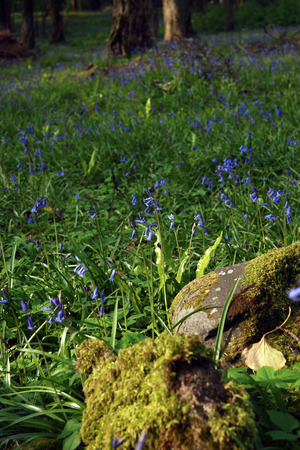 kerry: a wood full of bluebells
