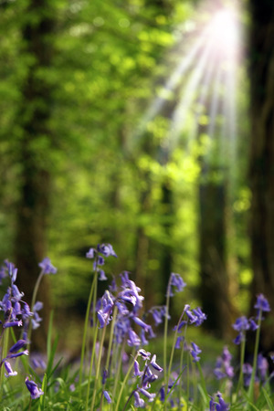 sun rays in a bluebell woods photo