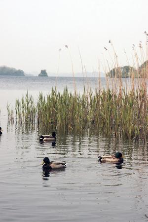 kerry: ducks swimming in a lake