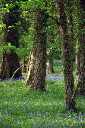 a wood full of bluebells photo