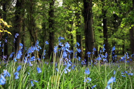 a wood carpeted in bluebells photo