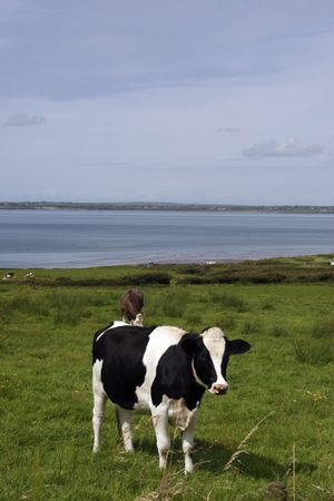 fresian: in a rich and beautiful irish farmland Stock Photo