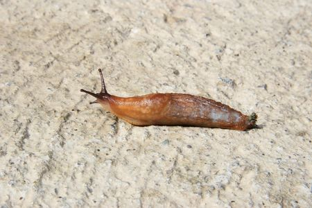slithering: a slug slithering slowly on its way