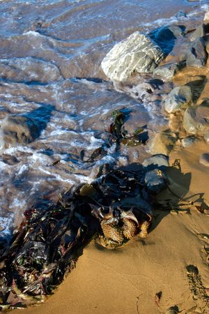 some seaweed being washed over by the waves photo