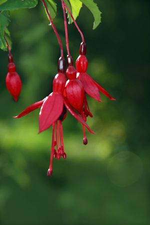 wild fuchsias hanging down with a green background Stock Photo