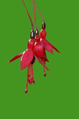fuschias: wild fuchsias hanging down with a clipping path