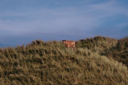 a lone cow on the top of some dunes in kerry ireland Stock Photo - 3007084