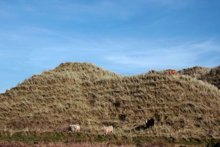 roaming: some cows on the top of some dunes in kerry ireland grazing in green pastures