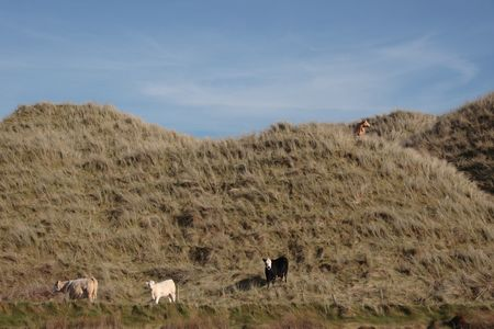 some cows on the top of some dunes in kerry ireland grazing in green pastures Stock Photo - 3007094