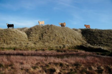four cows on the top of some dunes in kerry ireland grazing in green pastures photo