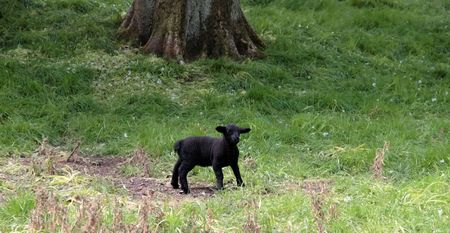 wooly: a young black lamb resting in the tall grass