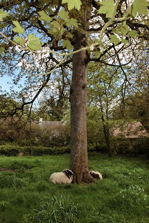 wooly: some young sheep resting in the tall grass in the shelter of a tree