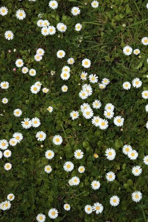 a beautiful lawn covered in an abundance of daisies photo