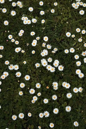 a beautiful lawn covered in an abundance of daisies Stock Photo - 3282550