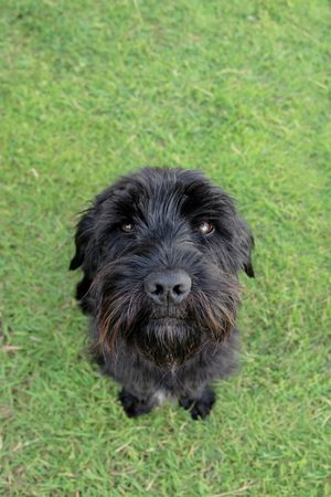 a cute black scottish terrier sitting in the grass photo