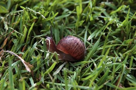 slithery: close up of a snail making its way in the grass Stock Photo