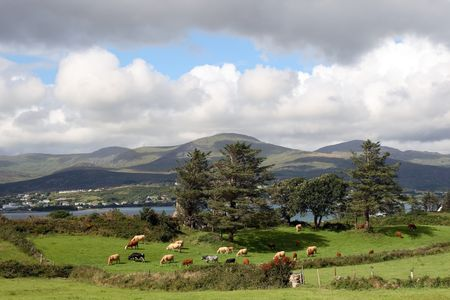 an irish island meadow with cattle grazing on lush green grass photo