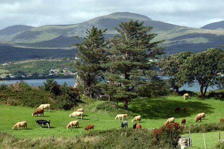 an irish island meadow with cattle grazing on lush green grass