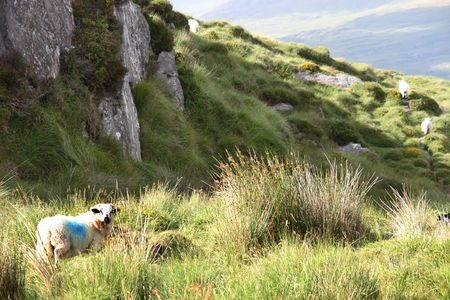 mountain sheep grazing on a hillside in county Kerry Ireland photo