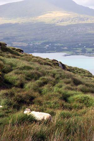 mountain sheep grazing on a hillside on Bear island county Cork Ireland photo