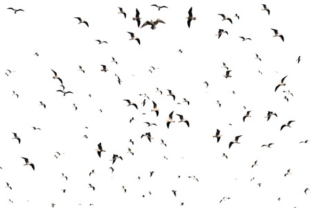 migrating: a flock of seagulls against a white sky Stock Photo