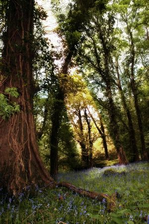 a wood full of bluebells in ireland photo