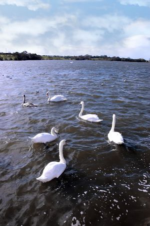 swans gliding elegantly on the lakes edge in the shimmering sunlight Stock Photo - 6381647
