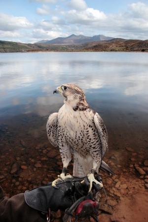 een falcon zat op zijn hand trainers in een scène van de prachtige natuur met een uitknippad