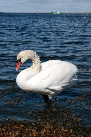 a lone white beautiful swan in the water Stock Photo - 8466182