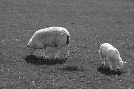 sheep and lamb grazing on grass in ireland in black and white photo