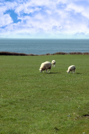 sheep and lamb grazing on green grass on the coast in ireland photo
