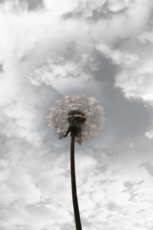 a beautiful wild dandelion flower in the countryside against a cloudy sky in black and white photo