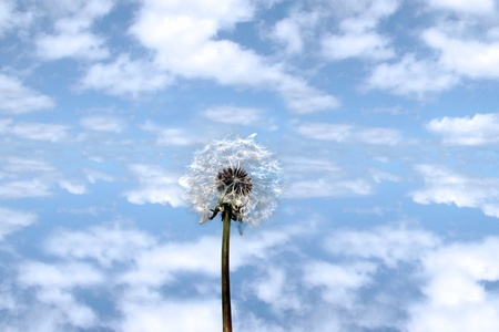 a beautiful wild dandelion flower in the countryside against a blue cloudy sky photo