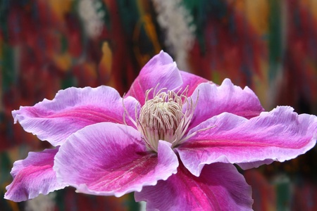a beautiful clematis against a colourful background Stock Photo - 9106188