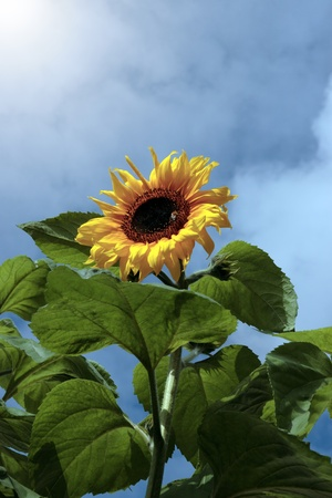 a tall sunflower with bee against a beautiful blue cloudy sky Stock Photo - 9233703