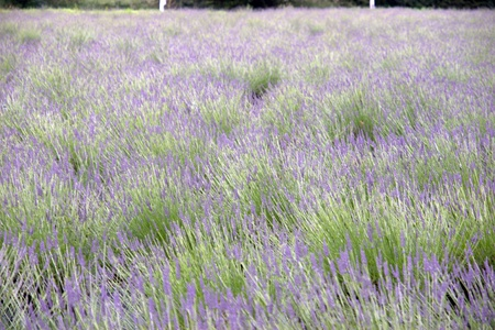 wild botany: a field of swaying wild heather flowers on a beautiful day in the english countryside in blurry movement