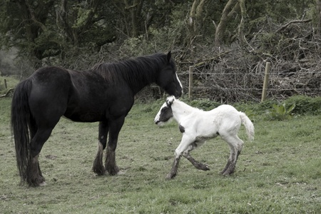 foal playing beside its mother in front of a wooded meadow in tipperary ireland photo