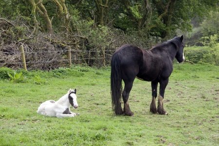 foal resting beside its mother in front of a wooded meadow in tipperary ireland photo