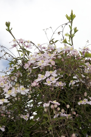 county tipperary: clematis flowers growing in the wild in glenough county tipperary ireland